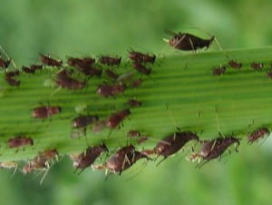 plantes insecticides