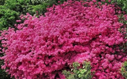 Arbustes défleuris : taillez-les