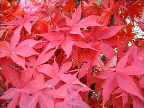 arbuste à feuillage décoratif