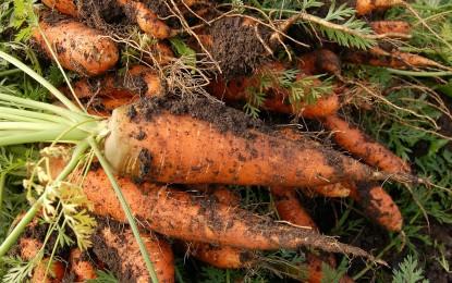 Le temps de récolte des légumes
