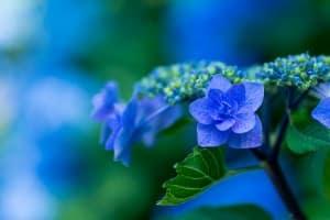 Caractéristiques de l'hortensia