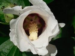 Les caractéristiques de l'hibiscus