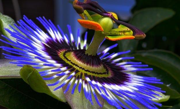 Entretien de la passiflore, la plante aux mille vertus