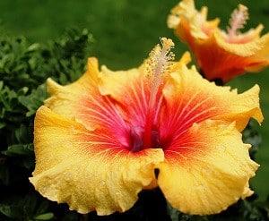 Planter un hibiscus