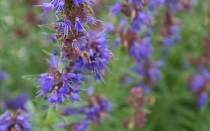 L'hysope officinale : une plante qui soutient votre digestion et combat le rhume