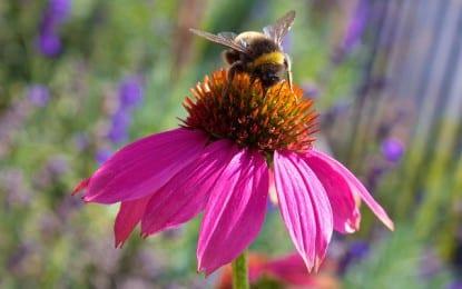 Les propriétés de l'échinacea : une plante pour affronter l'hiver