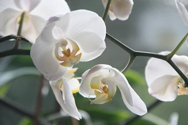 Planter une orchid e comment planter et rempoter une - Comment couper la tige d une orchidee apres floraison ...
