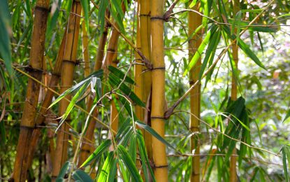 Quel bambou planter dans votre jardin ou sur votre terrasse ?