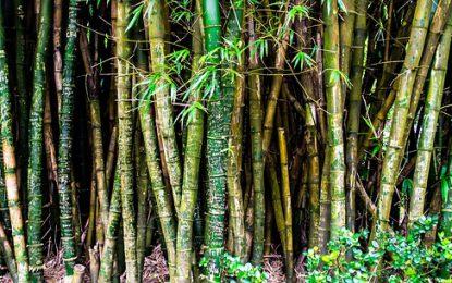 Comment tailler un bambou ?