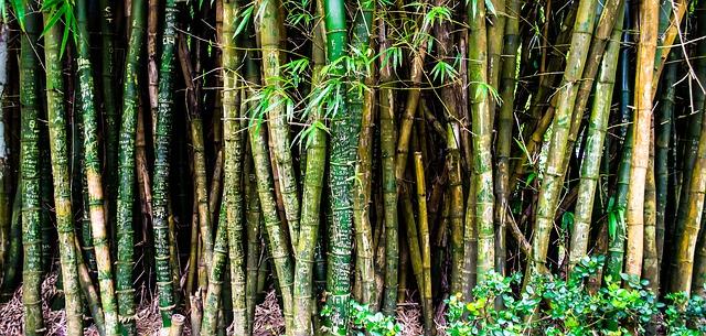 comment tailler des bambous quand tailler les bambous. Black Bedroom Furniture Sets. Home Design Ideas