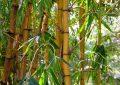 Comment faire une haie de bambou ?