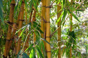 comment faire une haie de bambou