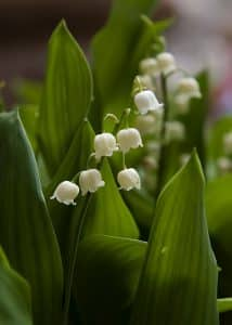 comment planter du muguet