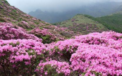 Comment planter le rhododendron, une plante rustique pour vos rocailles