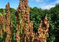 Comment cultiver la rhubarbe, une plante riche en magnésium ?
