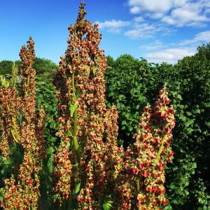 Comment cultiver de la rhubarbe