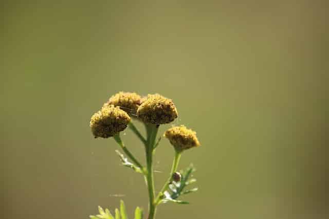 tanaisie insecticide la tanaisie une plante anti insectes le jardinier. Black Bedroom Furniture Sets. Home Design Ideas