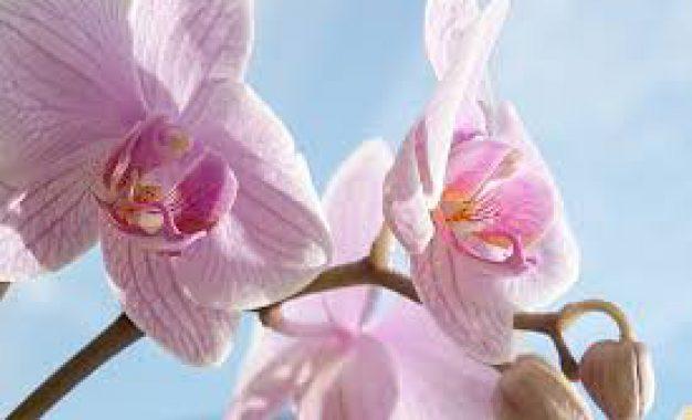 Quelle variété d'orchidée choisir ?