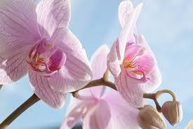 Quelle variété d'orchidée choisir