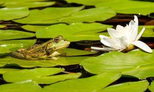Quelles plantes de bassin choisir