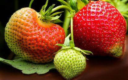 Quand planter des fraisiers